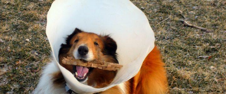 Este perrito no podía comer por el cono de cirugía en su cabeza, sus dueños se lo llenaron de comida