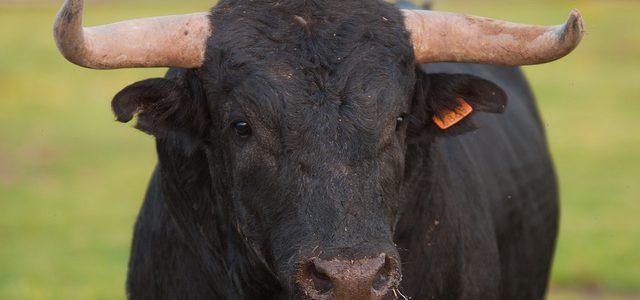 Pánico al encontrar un gigantezco toro dentro de una casa